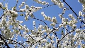 20200412_121801 cerisier bien copie.jpg